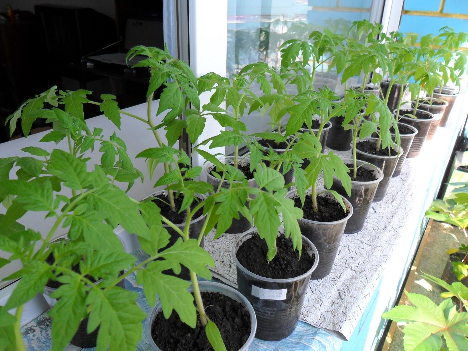 Чем полить рассаду помидор и 79