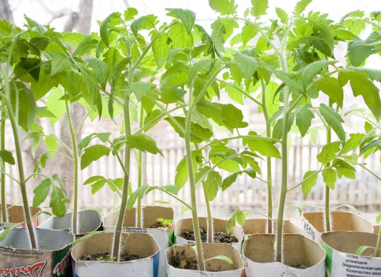 Как правильно освещать рассаду томатов 61